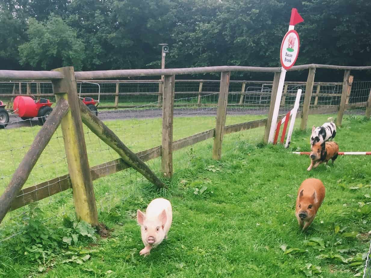 Check cuddling mini pigs in England off your bucket list at Pennywell Farm! I give you all the details including how to get to Pennywell Farm and more. #pennywellfarm #devon #england #travel #minipigs