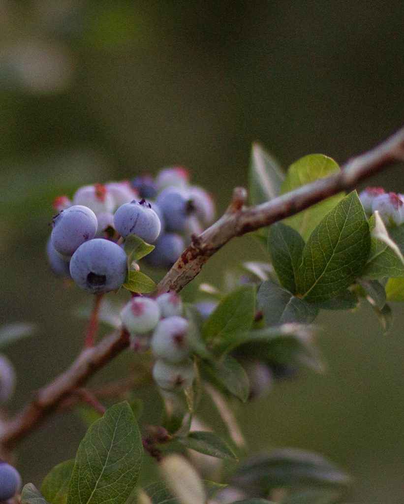 Blueberries at The Fields of Michigan