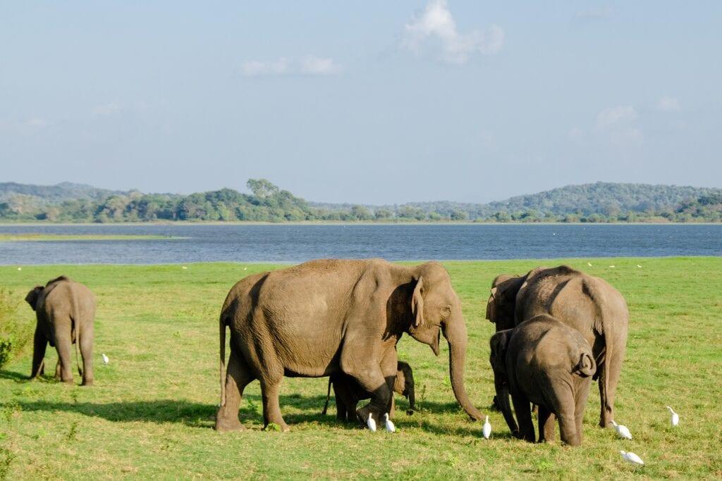 Elephants of Udawalawe National Park in Sri Lanka