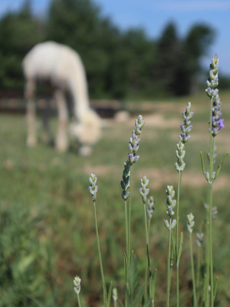 Northern Lavender alpaca