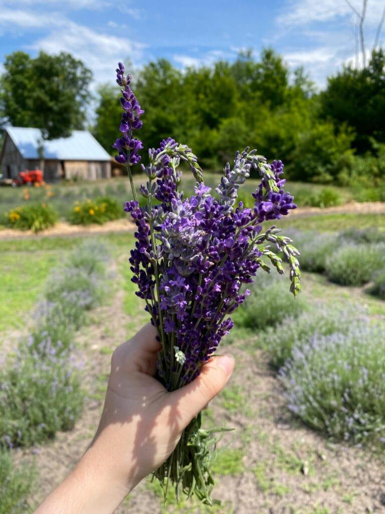 Bohemian lavender farm in Michigan