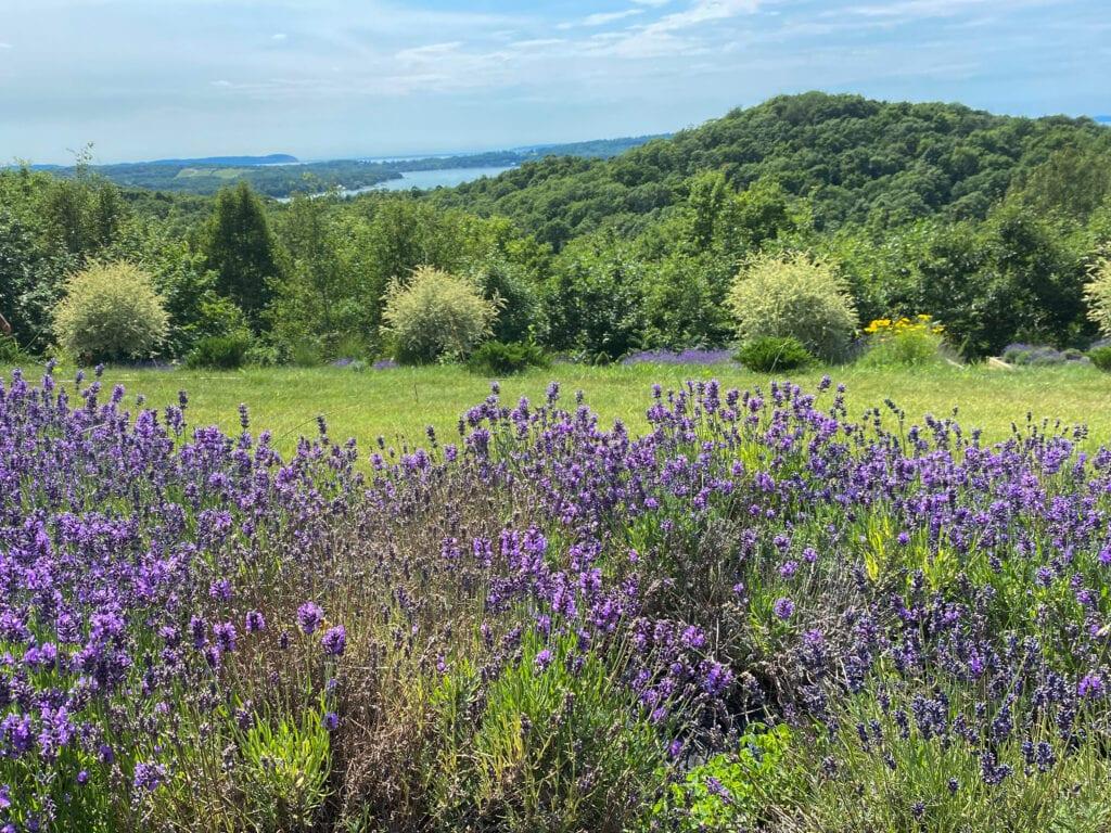Terrazza di Lavanda lavender farm in Michigan