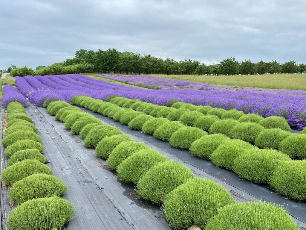 lavender on old mission peninsula lavender farms in michigan