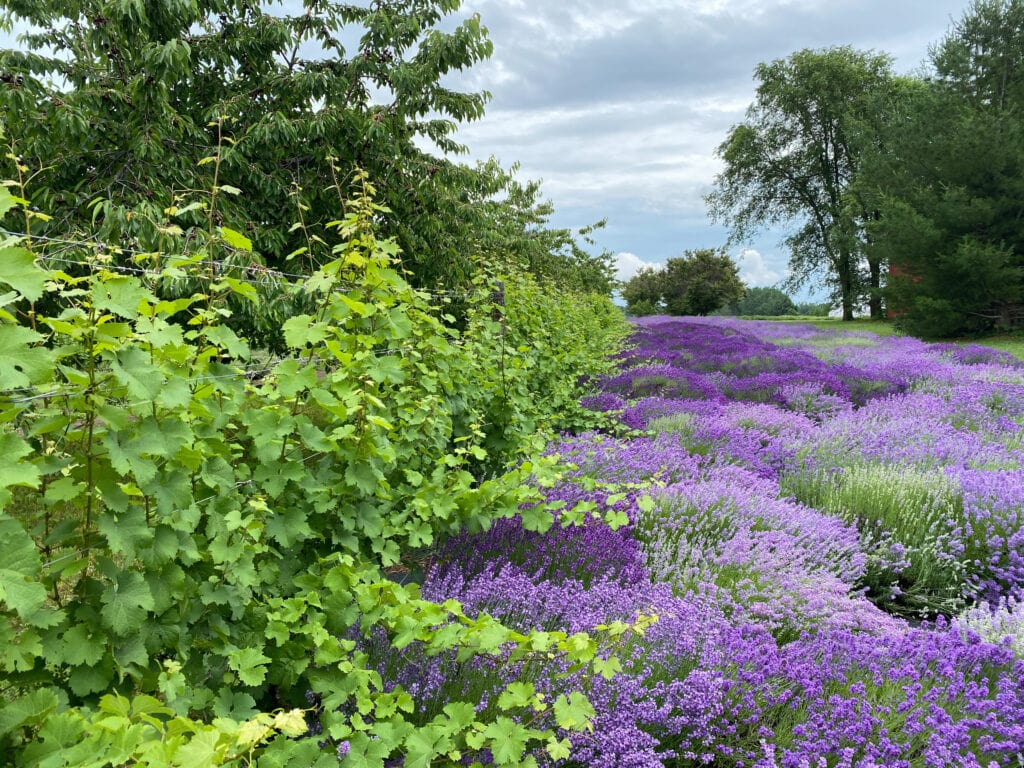 Harbor View lavender farm on old mission peninsula