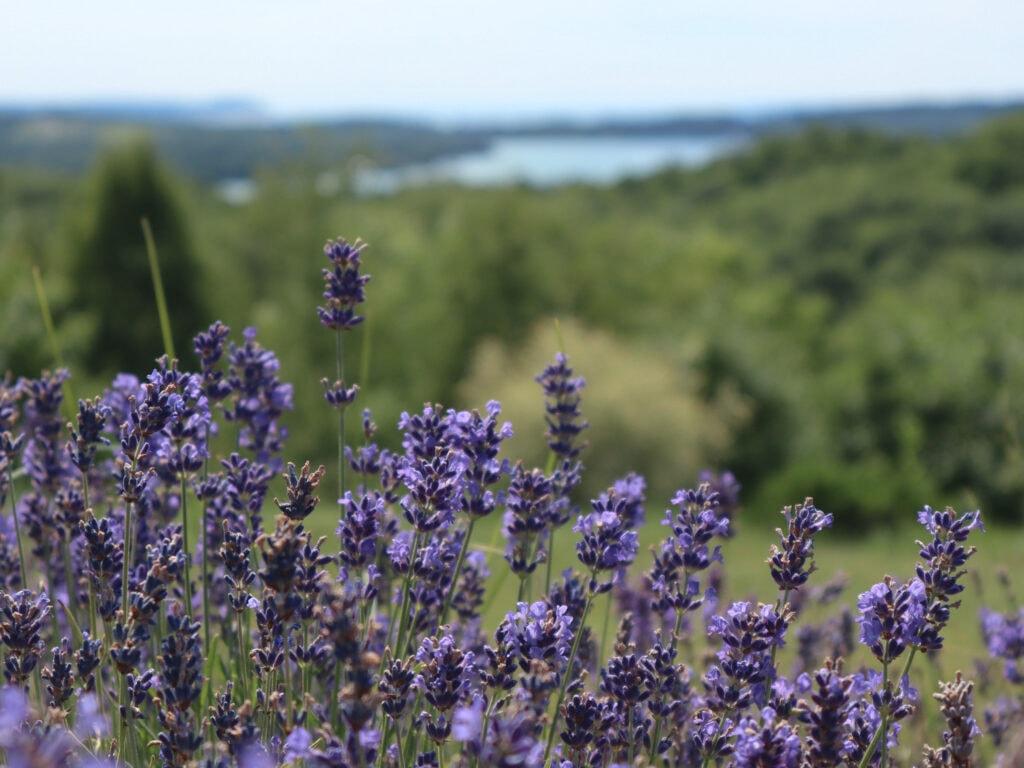Lavender at Terrazza di Lavanda, a lavender farm and B&B on the Leelanau Peninsula.