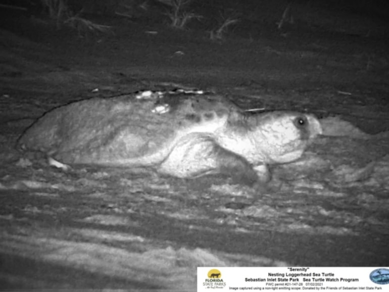 serenity sea turtle - black and white photo of turtle laying eggs in her nest